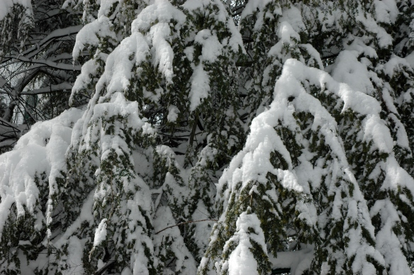An evergreen wears a heavy coat of Winter snow.