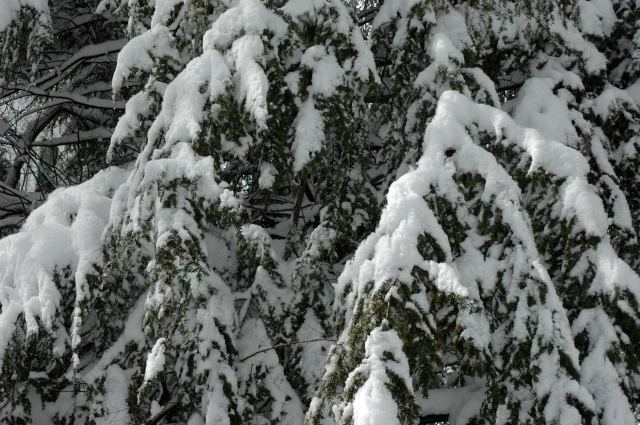 An evergreen wears a heavy coat of Winter snow.