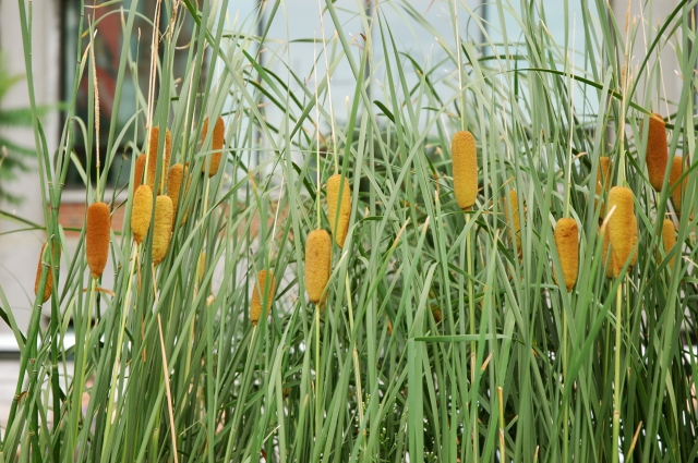 these cattails aren't flowers but they are yellow