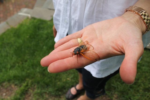 Little Miss Cicada.