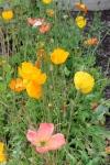 Mountain Poppies