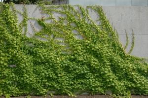 Fingerlike tendrils of ivy on concrete.