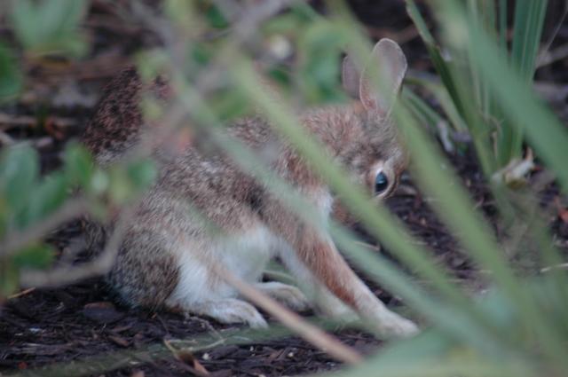 A Florida bunny.