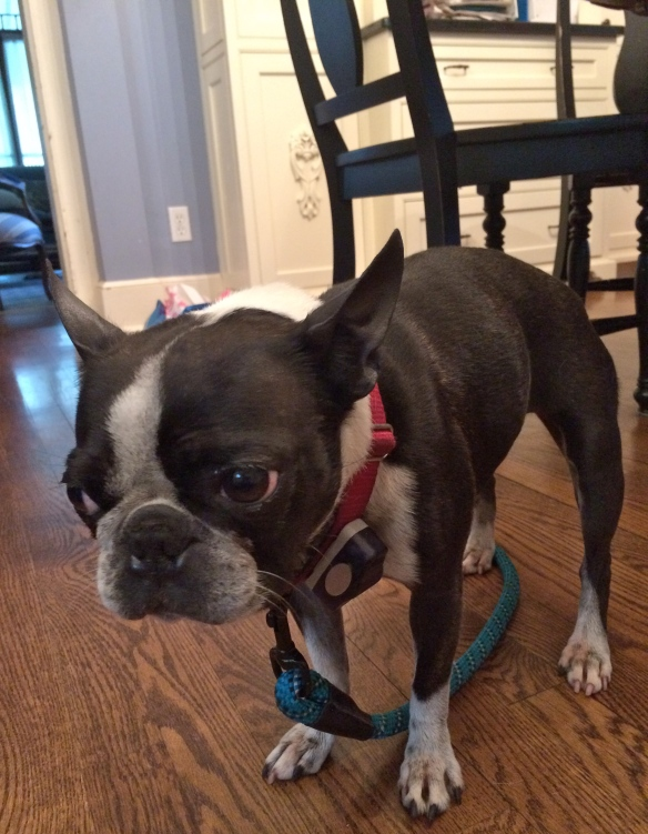 Rosie, a Boston Terrier and lost dog.