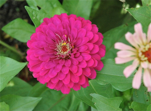 "When I say I have ""Hot Pink Hope,"" I'm thinking of this Zinnia's color!"