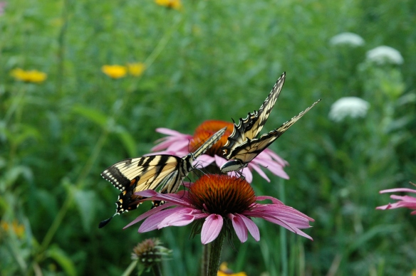 Two Swallowtails flitted around the flowers.  I was so excited to capture both feeding at once.