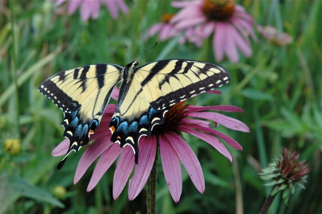 I love the way the Swallowtail's wings curve ever so slightly towards the Cone Flower.