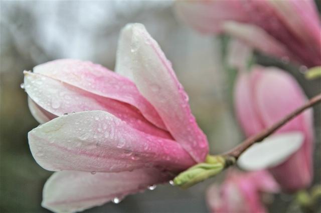 Magnolia Monday