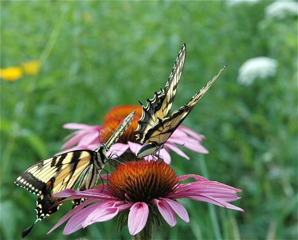 Butterflies on Cone Flowers.