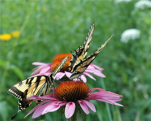 Butterflies on Cone Flowers.