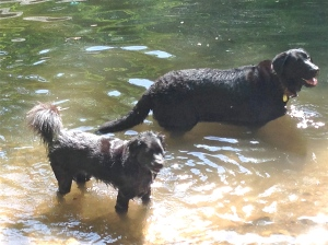Lucy and Tucker cooling off in the Rahway River.
