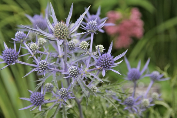 Flat Sea Holly.