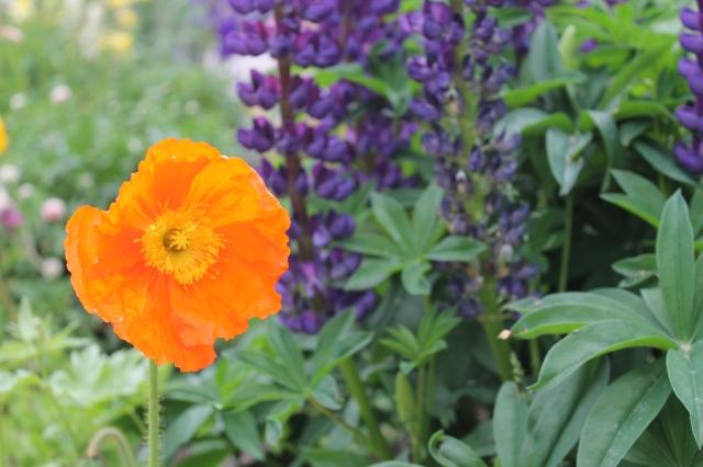 Orange Mountain Poppy, Breckenridge, CO