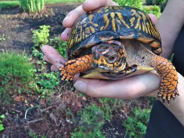 Box Turtle found in my garden.