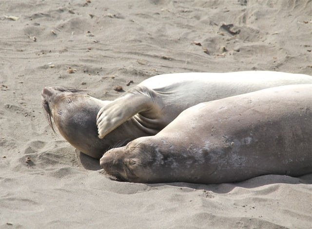 Two snoozers. They scratch themselves with their flippers.