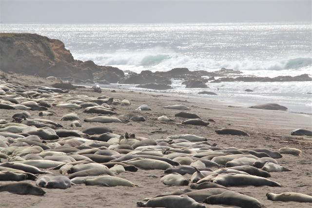 Elephant Seals resting in Big Sur.