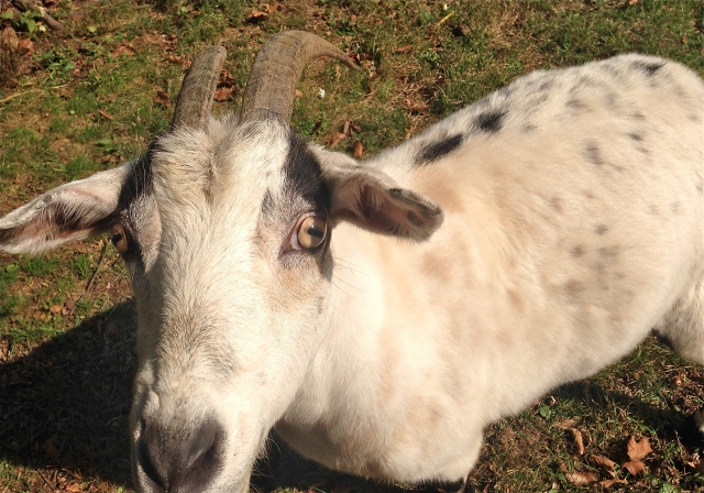 Animals and children always bring out kindness in me. This sweet goat got a nice neck scratch.